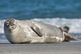 Harbor seals' whiskers as good at detecting fish as echolocating dolphins