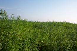 Hemp produces viable biodiesel, study finds