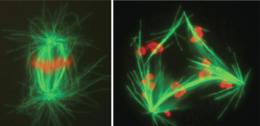 The art of dividing: Researchers in Berlin decode function and protein content of the centrosome