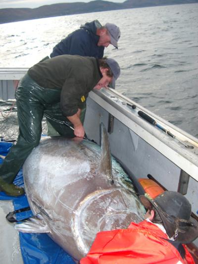 1 000 tags reveal mysteries of giant bluefin tuna for Giant tuna fish