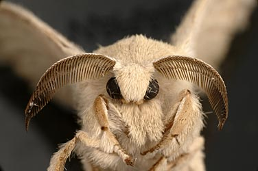anadultsilkw An adult silkworm moth, Bombyx mori. Research on its genes has revealed a ...