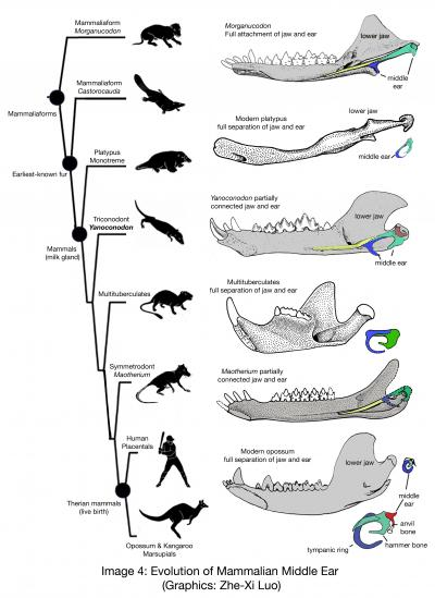 125397170849416991 additionally Family Tree Of The Living Penguins moreover My Many Colored Days additionally Lab 9  parative Vertebrate Anatomy in addition 2009 10 Paleontologists Mesozoic Mammal. on blue bird parts