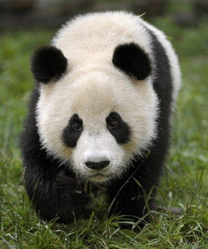 Panda genome resembles dog: Chinese media