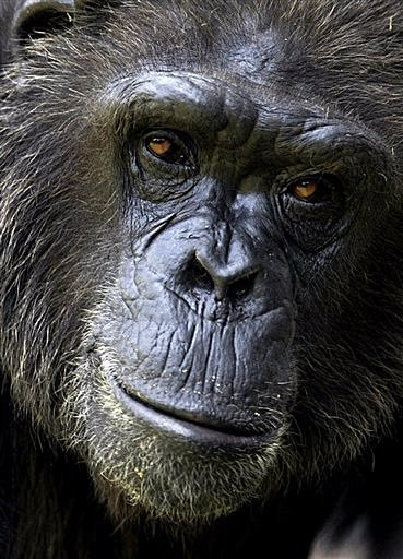 a short study on chimpanzees Learn all you wanted to know about chimpanzees with pictures, videos, photos, facts, and news from national geographic  it was a grisly sight: a murdered chimpanzee, his body beaten, bloodied.