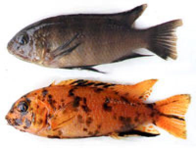 news genetic conflict fish evolution