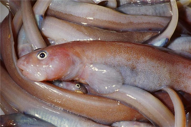New fish discovered in the bellingshausen sea for New fish discovered