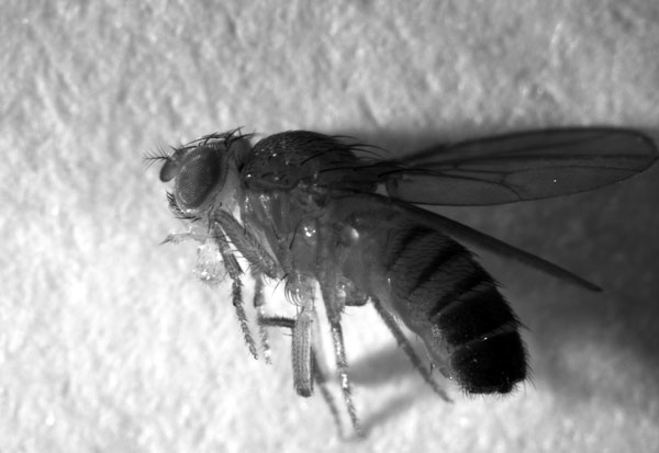 Scientists injected thousands of fruit flies, like the one magnified above,