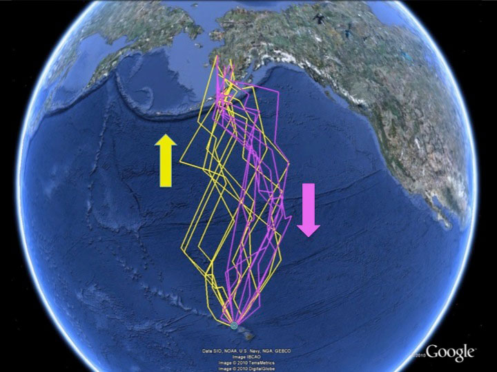 Geolocator tracks of plovers migrating northward (yellow) in spring ...
