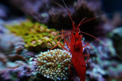 saltwater aquarium trade Saltwater Shrimp Species