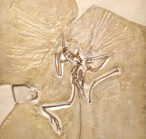 Archaeopteryx Fossil Natural History Museum