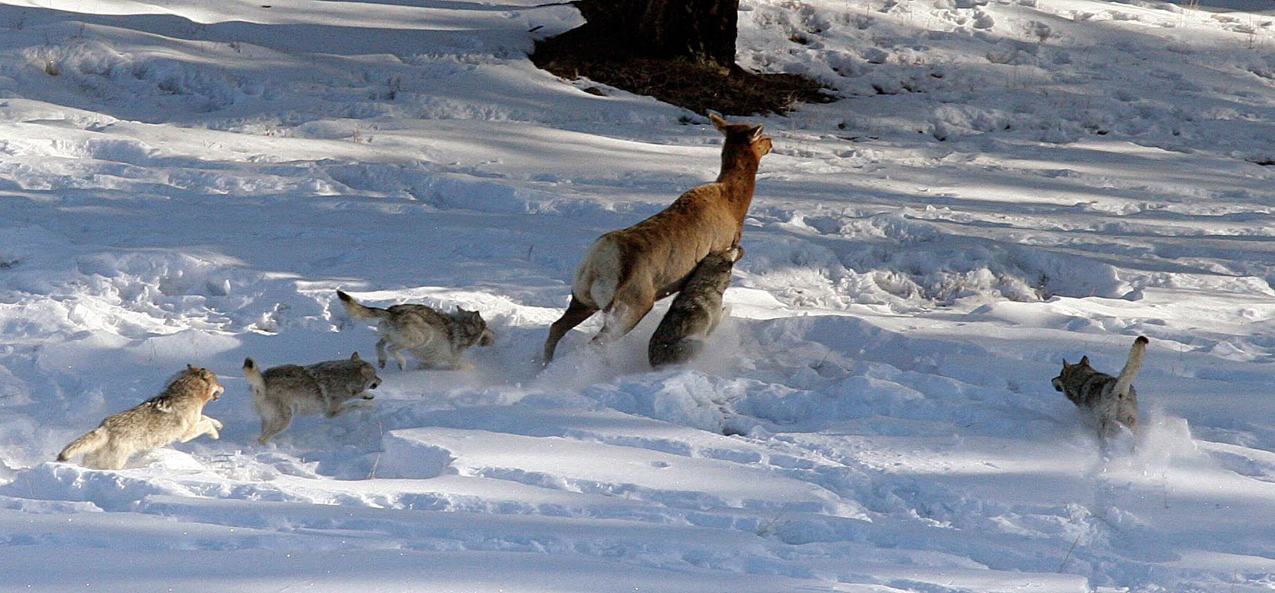 President Trump Signs Bill Lifting Ban on 'Predator Control' Hunting Practices in Alaska