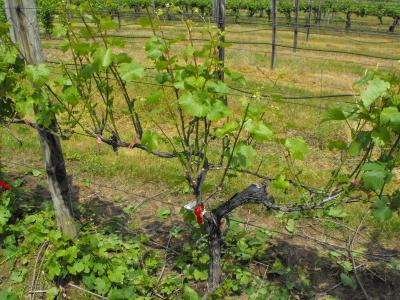 Early defoliation of Great Lakes wine grapes testedPinot Noir Grape Vines
