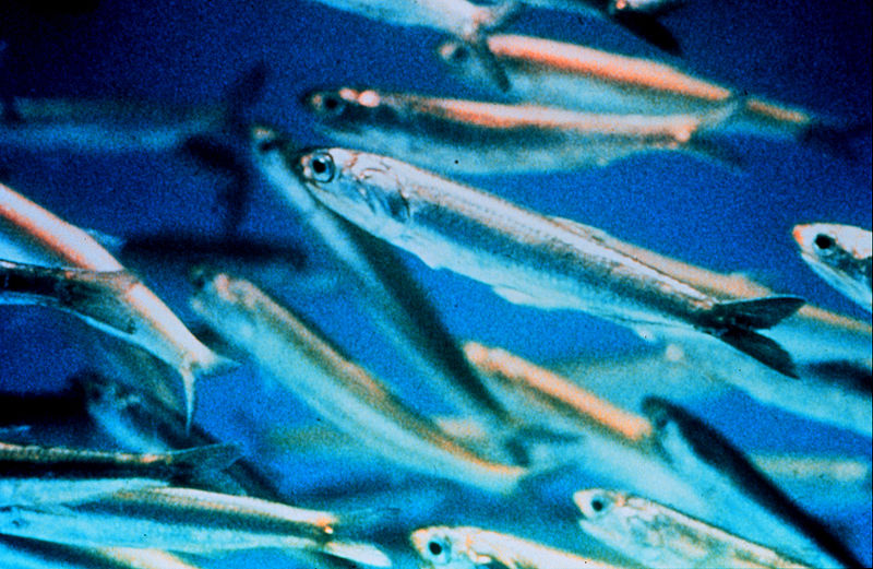 Harvesting of small fish species should be cut: study