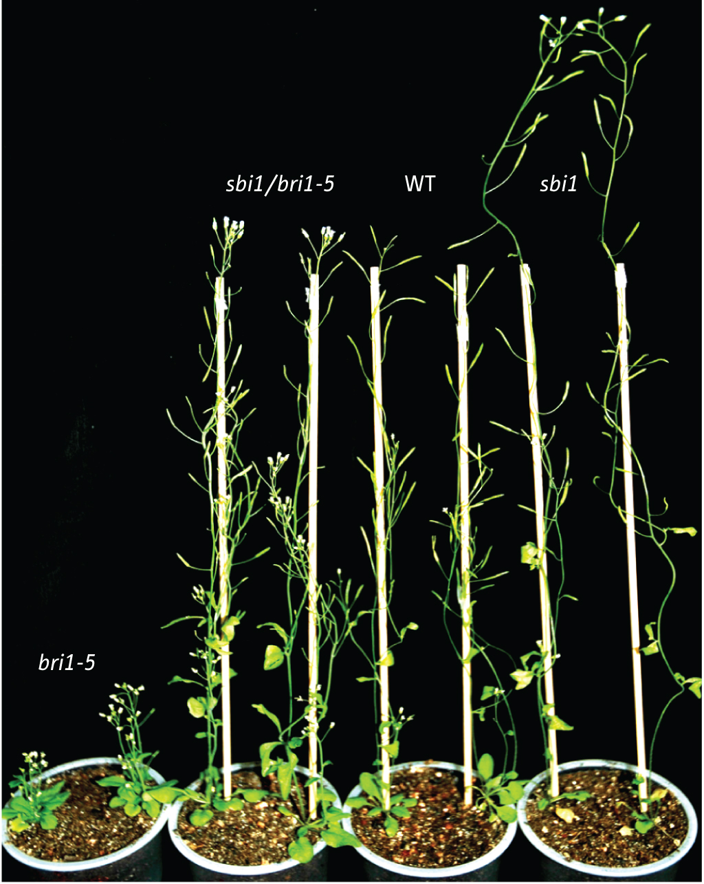brassinosteroids and plant steroid hormone signaling