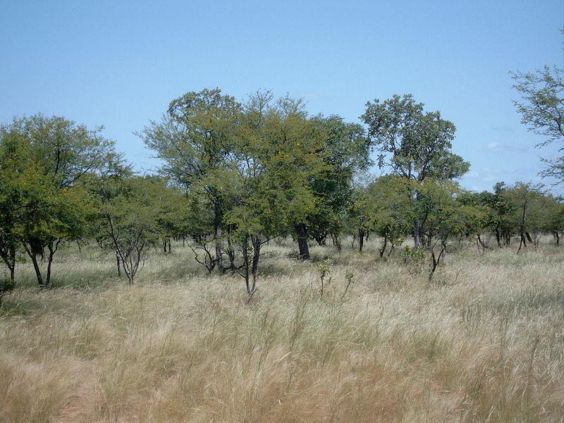 Acacia savanna ... African Grasslands Plants
