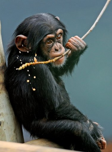 old male Chimpanzee