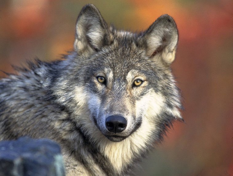 us removes gray wolf from endangered list