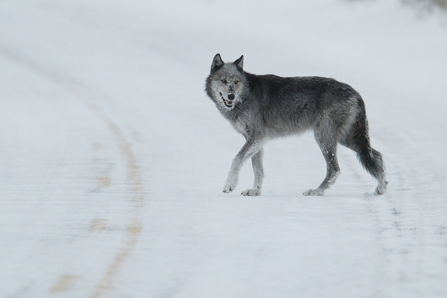 Yellowstone wolves research paper