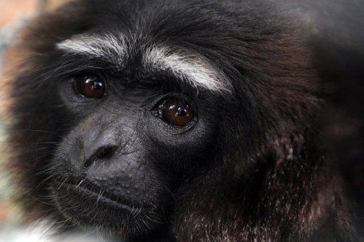 Gibbon Monkey Pictures a Rescued Gibbon Monkey is