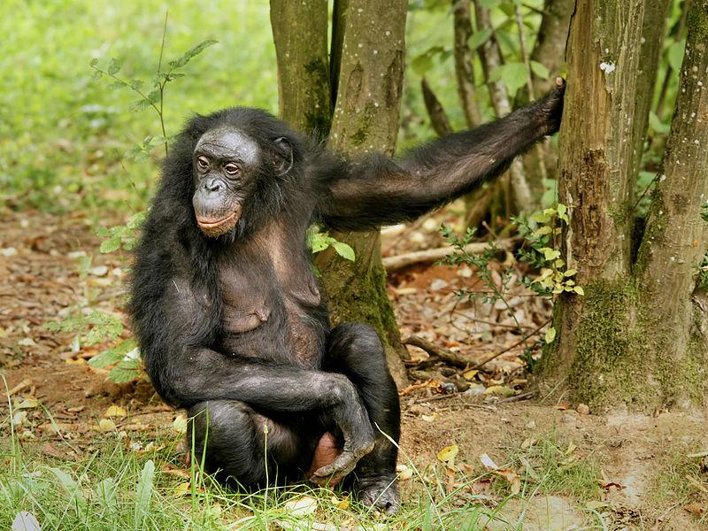 Female bonobos use homosexual sex to increase social status