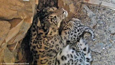 Videos of snow leopard mother and cubs in dens recorded in mongolia