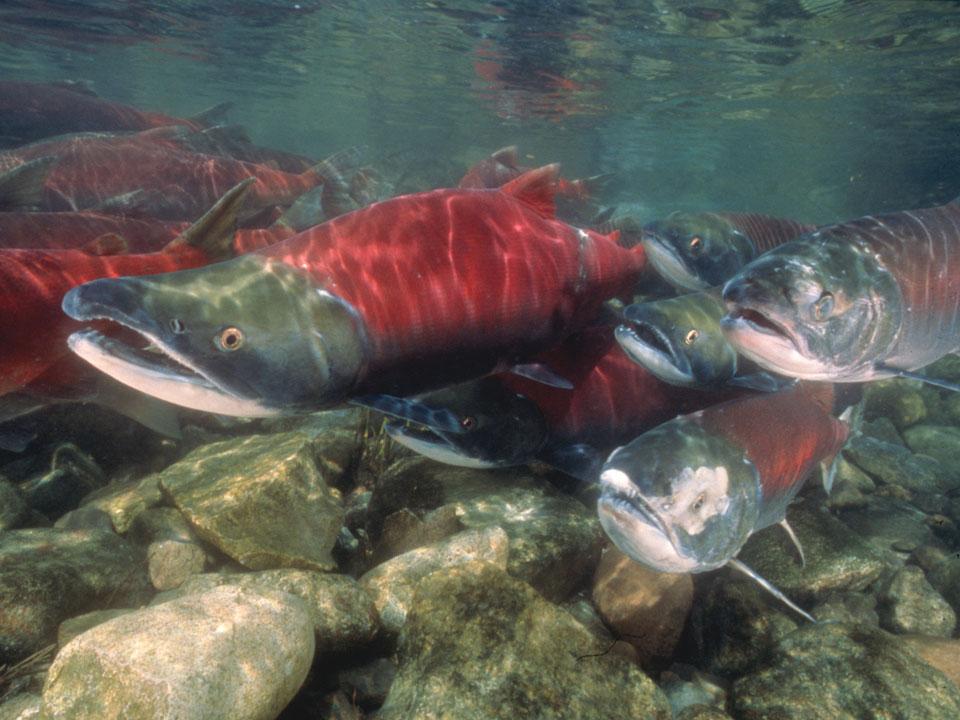 Salmon Natural Color