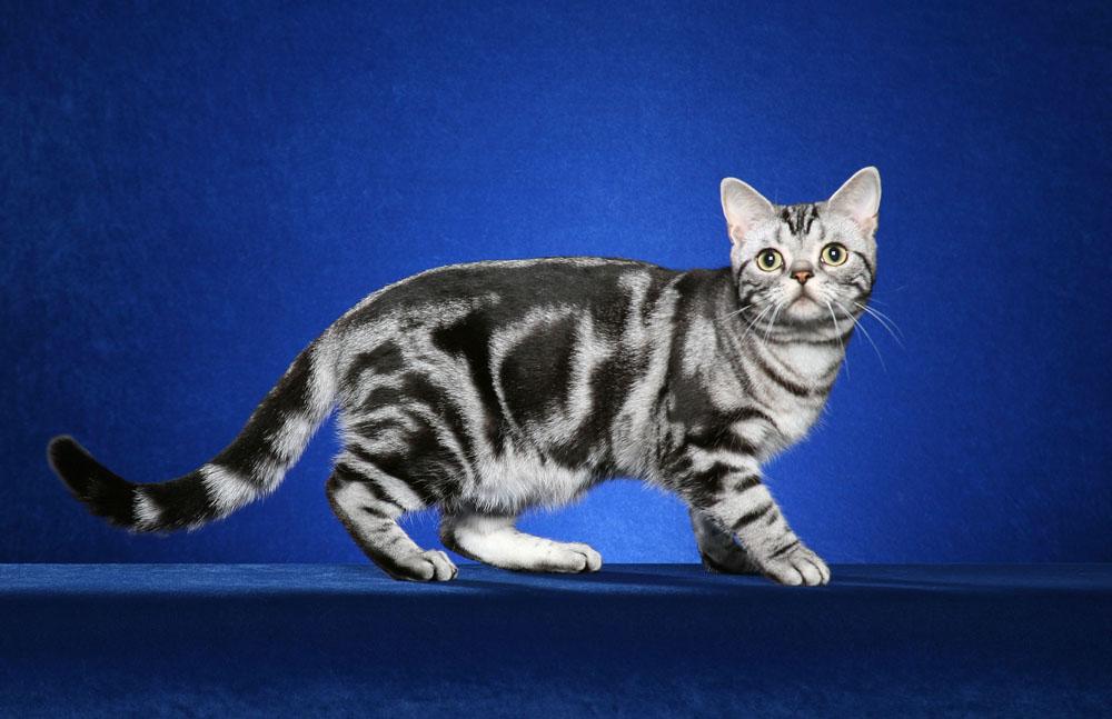 Bengal Cat  Cat Breeds  Petfinder