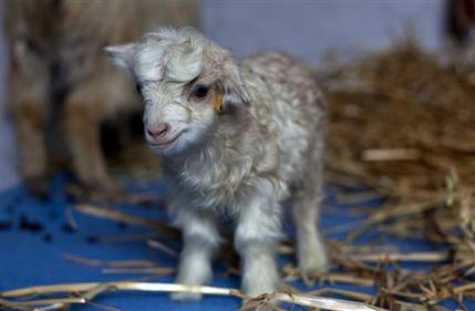 Baby cashmere goat - photo#26