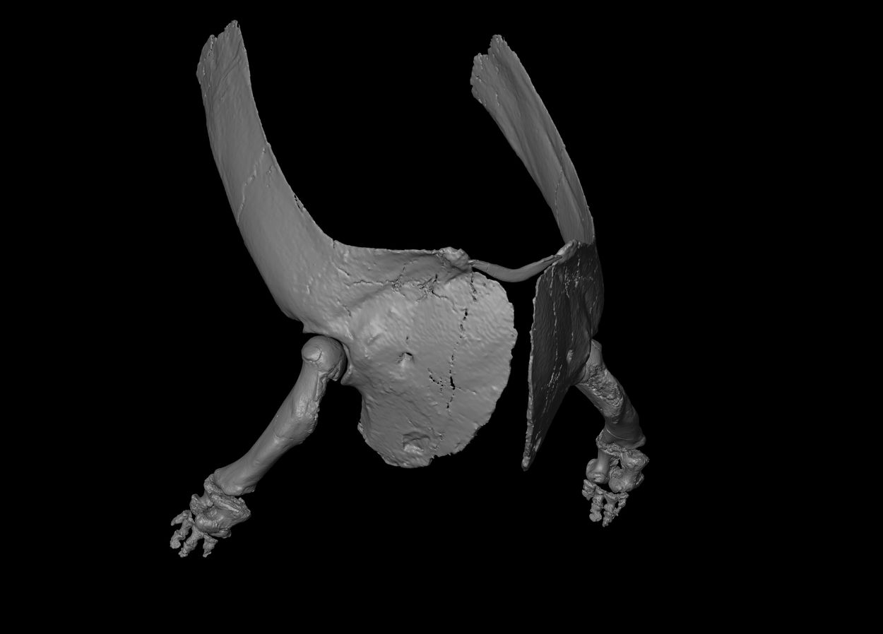 CT reconstruction of the forelimb and shoulder blades of Majungasaurus crenatissimus, showing the extremely shortened yet robust forearm bones, absent wrist bones, and four stubby fingers. Image: Sarah H. Burch