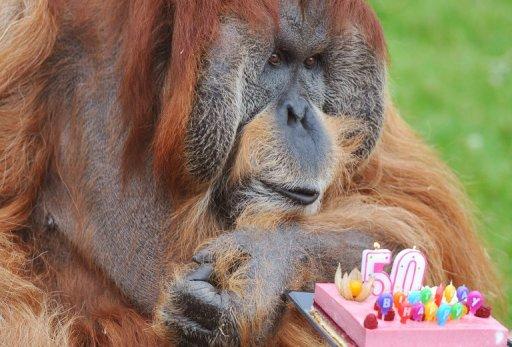 Orangutan 50th Birthday his 50th birthday at the