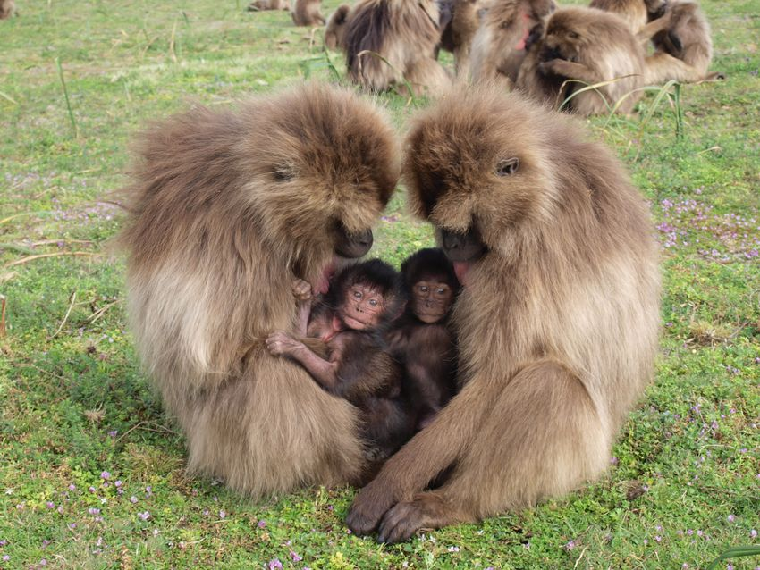 Gelada Monkeys.