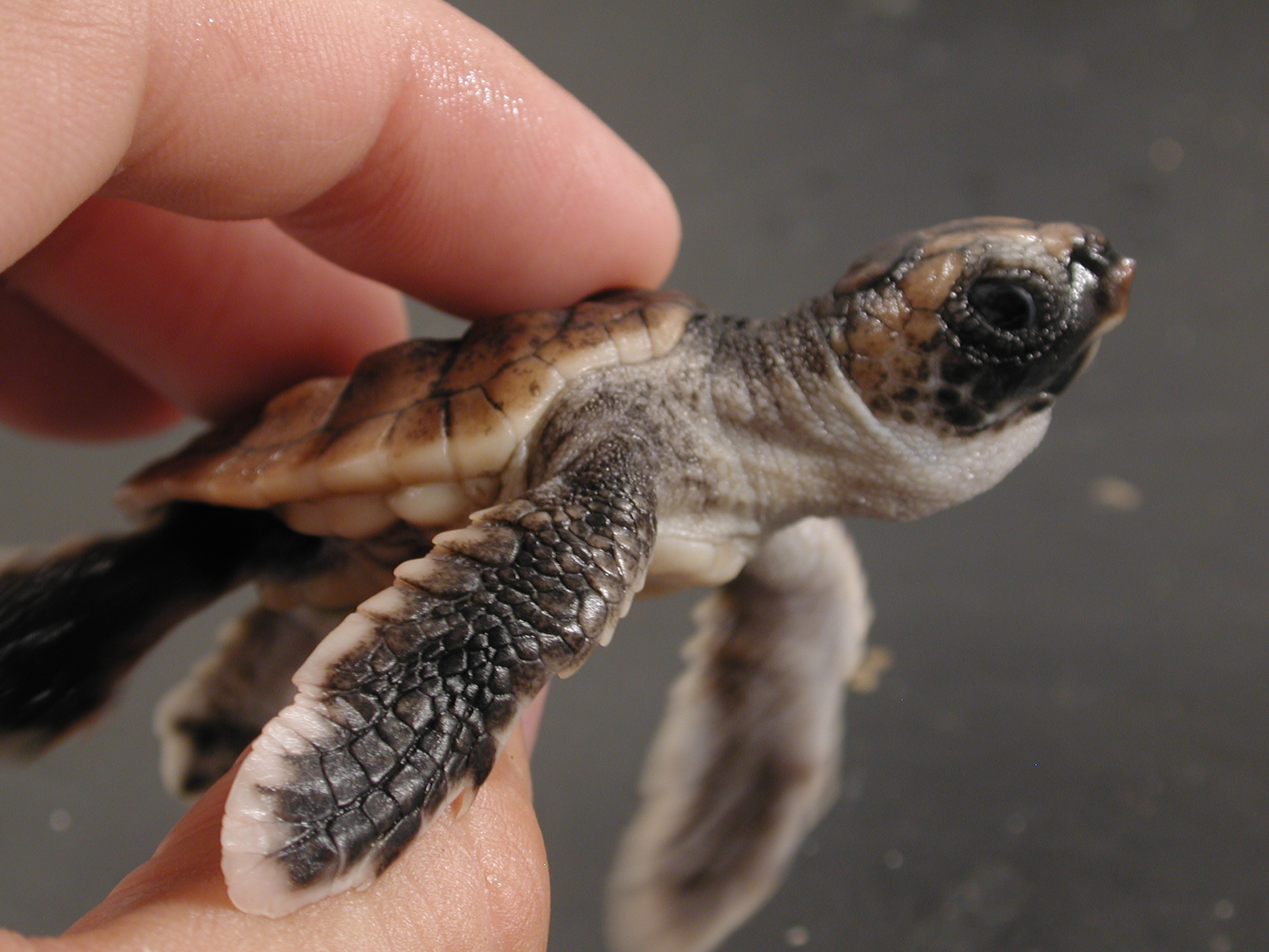 baby loggerhead turtles