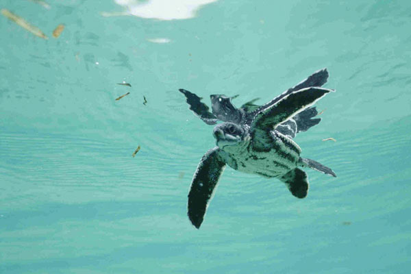 Leatherback sea turtle pictures in the water - photo#28