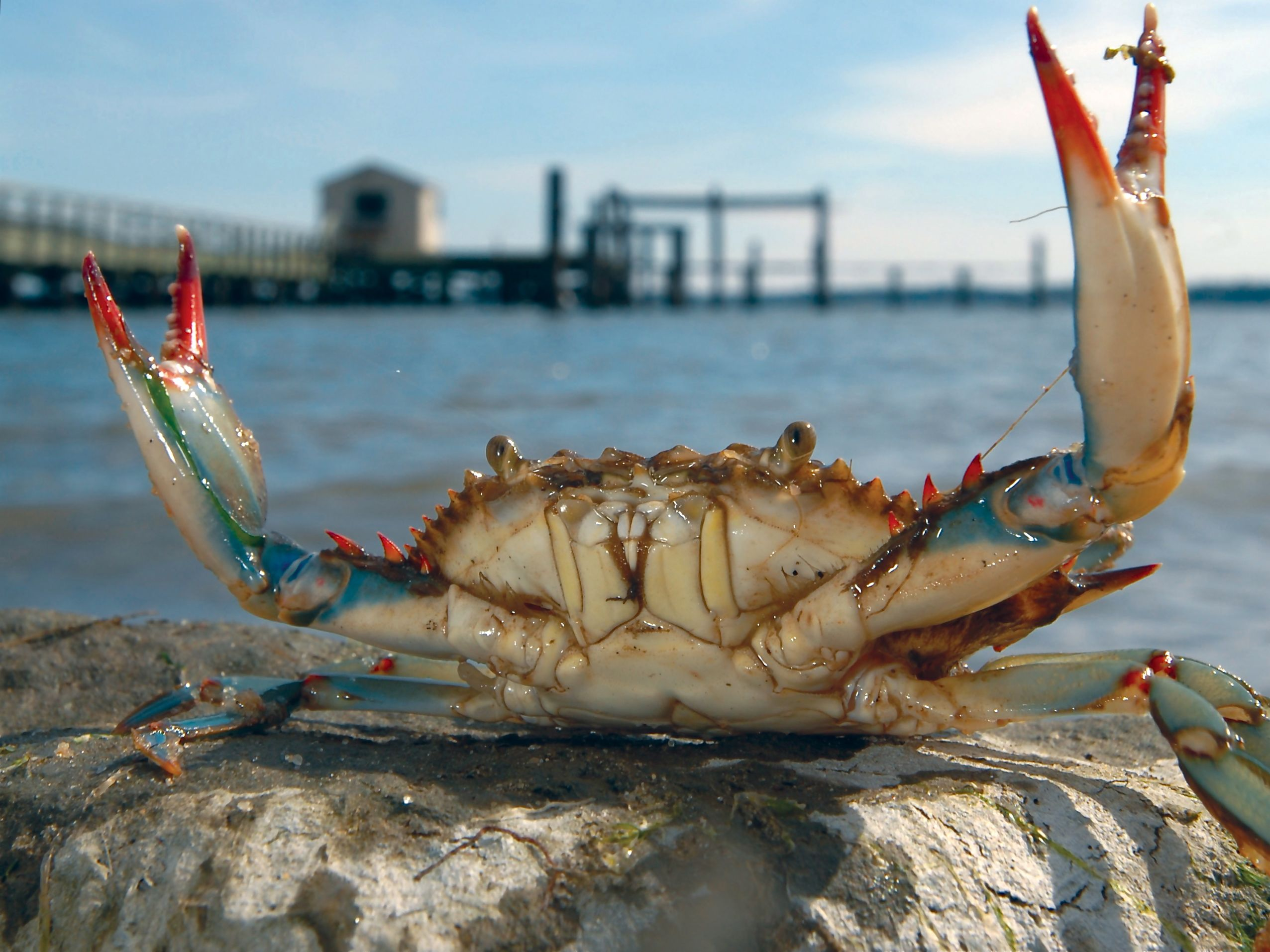 Sesearchers unravel life cycle of blue crab parasite for Blue crab fishing