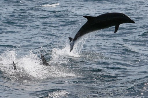 Bottlenose dolphins exhibits skills not common to animals
