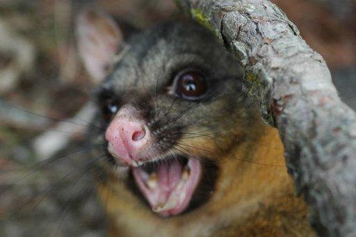Possum pest feeds thriving N. Zealand fur industry