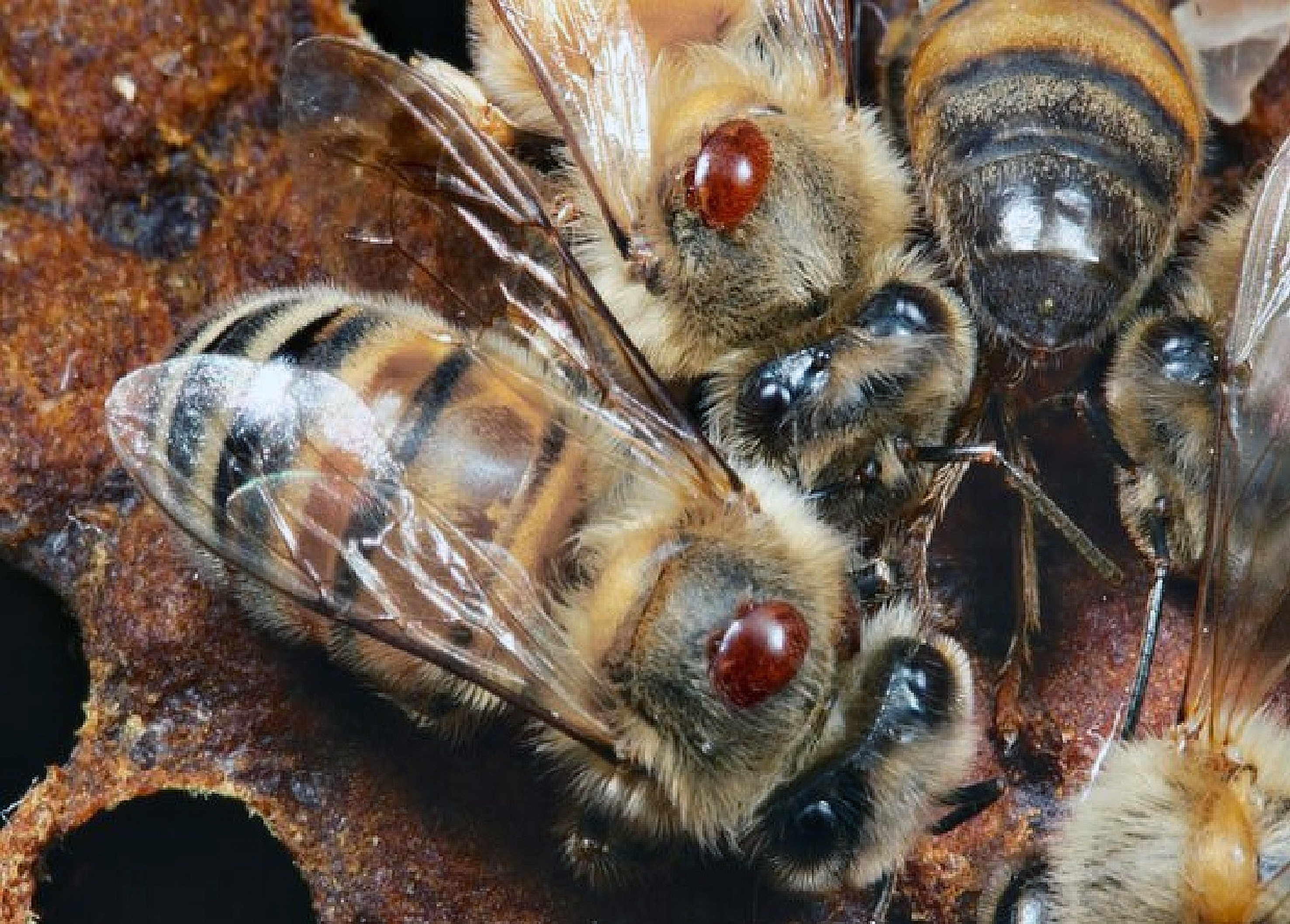 Battle against bee-blood-eating parasite