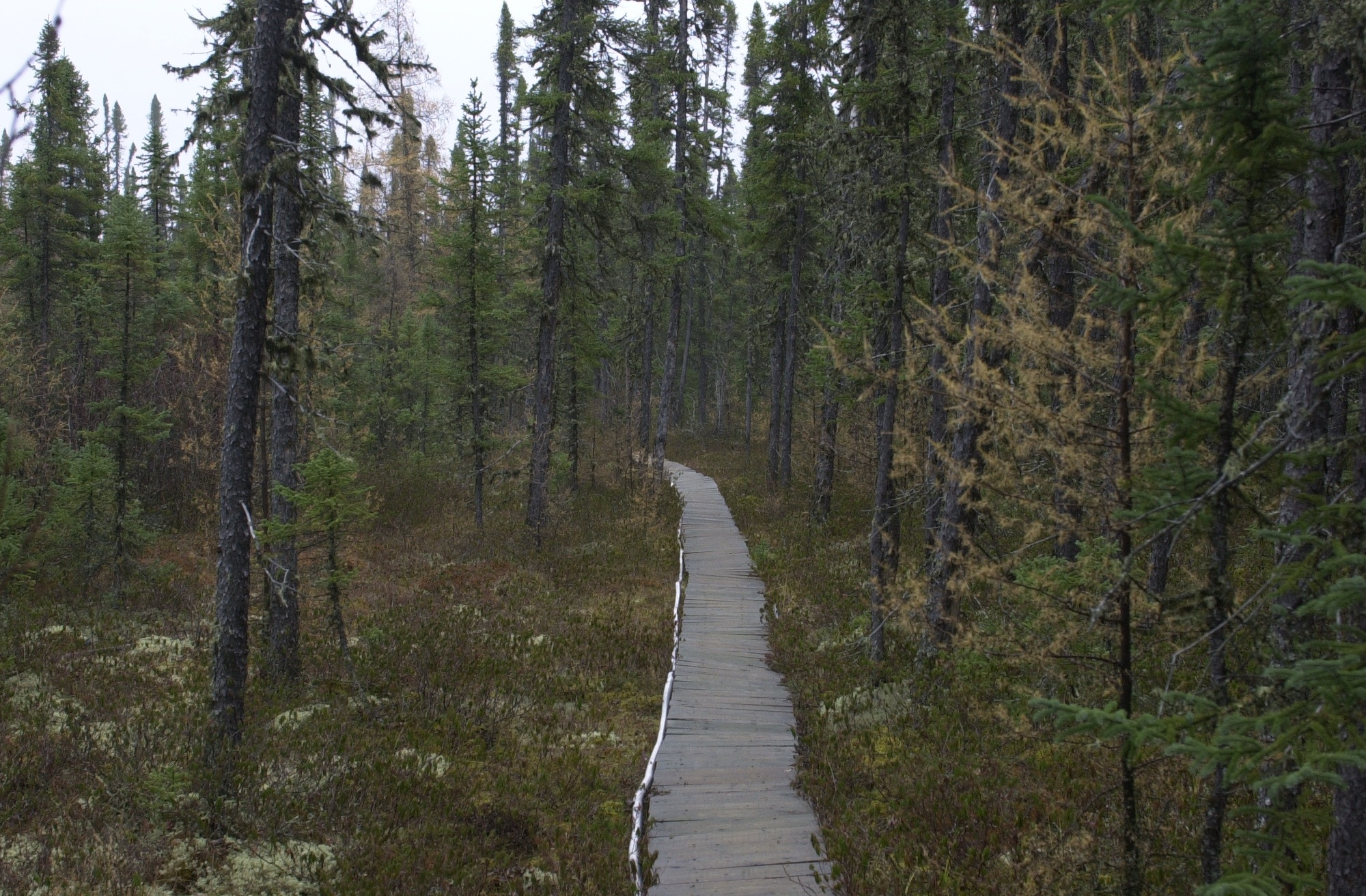 Death Of A Spruce Tree Study Of Black Spruce Forest Means