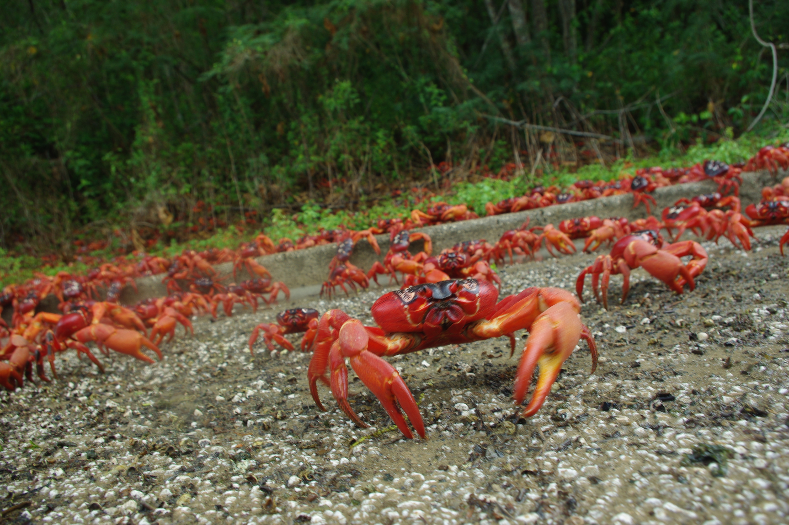 red crabs of christmas island While the bright red (or sometimes orange or purple) crabs gecarcoidea natalis are christmas island's most famous crustaceans, there are 13 other crab species on the island.