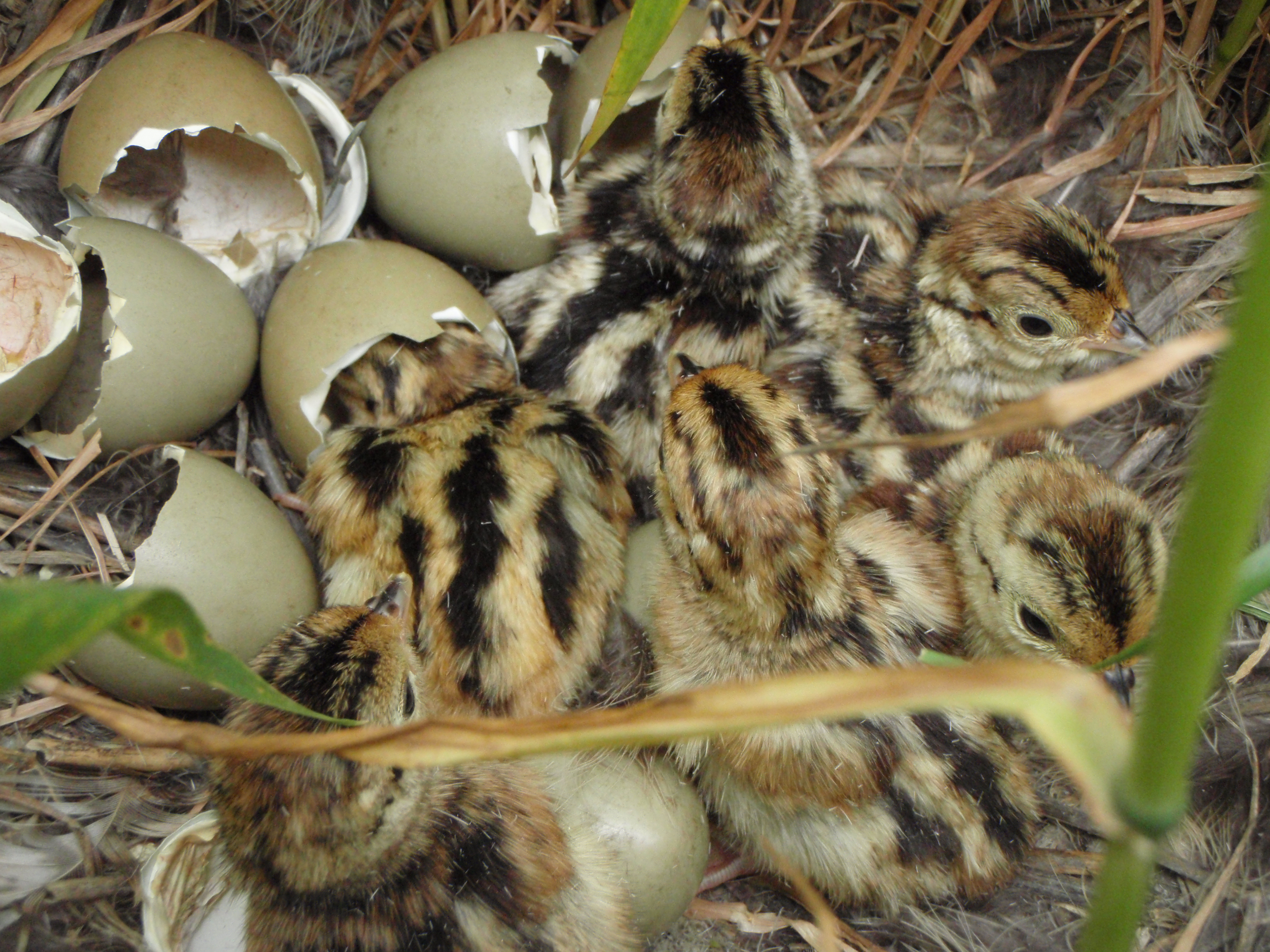 nesting habitat key to pheasant numbers