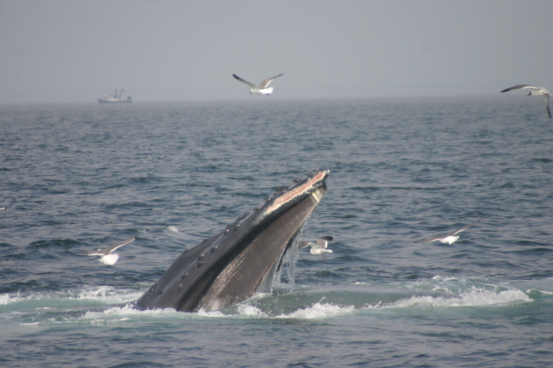 humpback whale research paper Song hybridization events during revolutionary song change provide insights into cultural transmission future research conclusions humpback whales provide a.