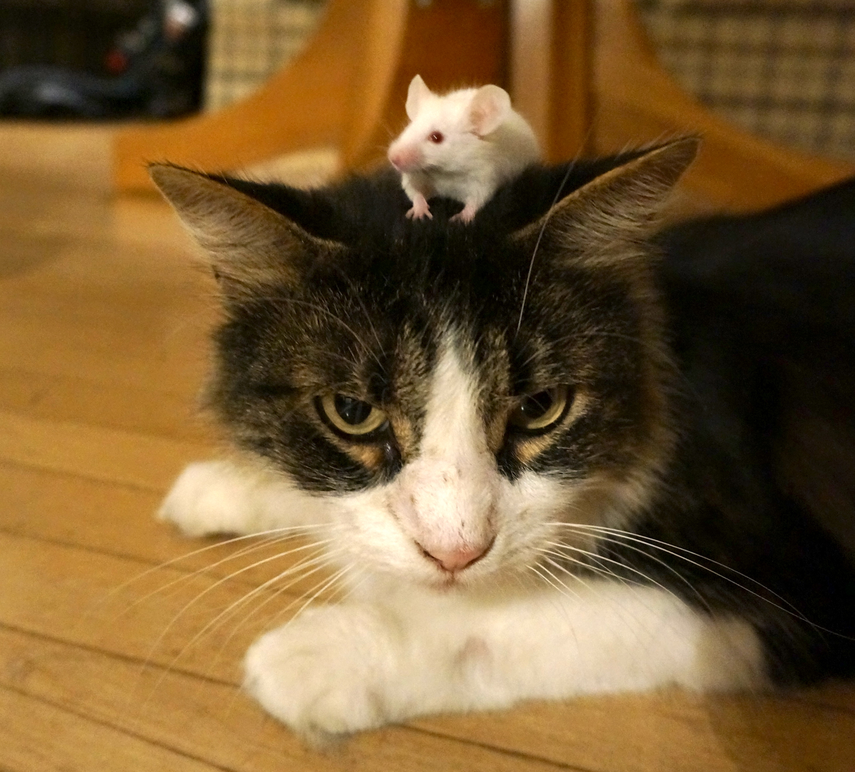 Image result for toxoplasma long term