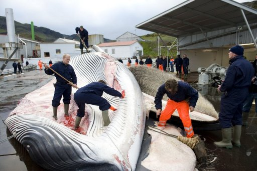 the importance of the issue of whale hunting Whaling is the hunting and killing of whales for a central issue in today's disputes whaling began as that hunting whales is an important part of their.