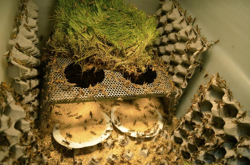 2013 09 Sustainable Ways Locust Outbreaks Worldwide on Grasshopper Life Cycle