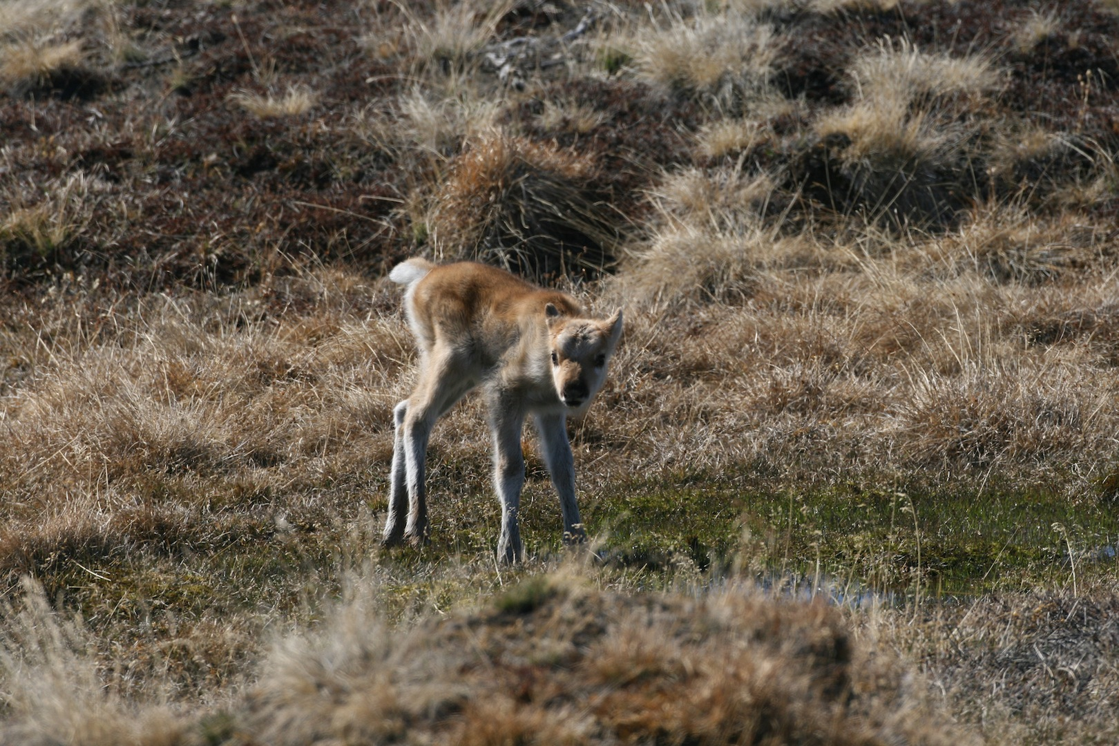 Caribou May Be Indirectly Affected By Sea-ice Loss In The