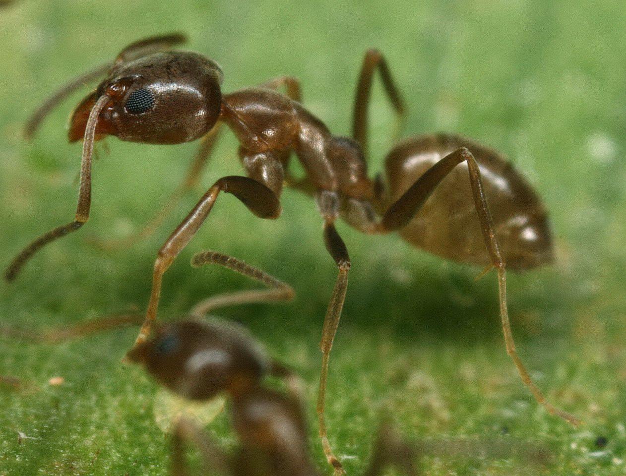 Asian needle ant photo