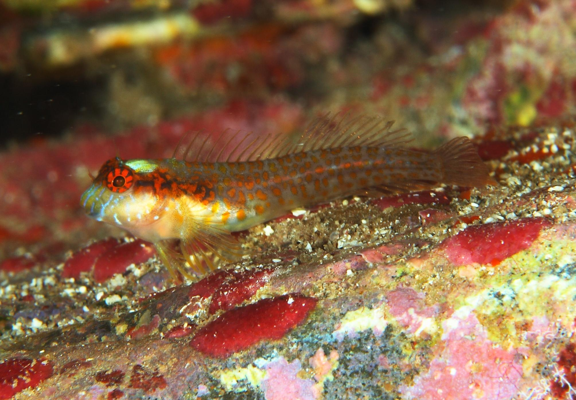 New species of labrisomidae fish discovered in brazil for New fish discovered