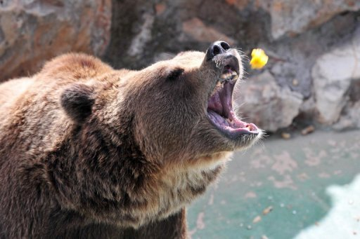brown bear receives food from a tourist at the Safari park in Fasano ...