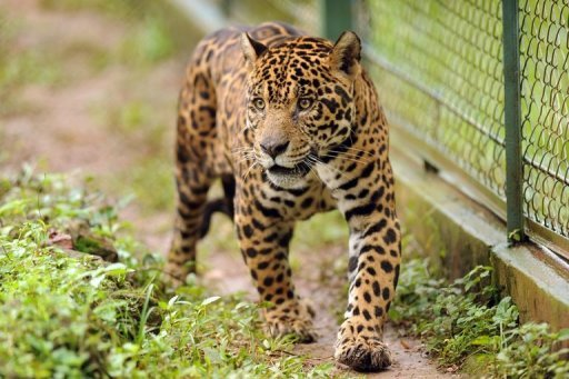 Mission to save jaguar exposes big cats' plight in Brazil