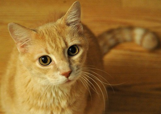 ریزش مو در گربه های موکوتاه